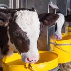 Ανάπτυξη μοσχίδων γαλακτοπαραγωγής για μέγιστη κερδοφορία