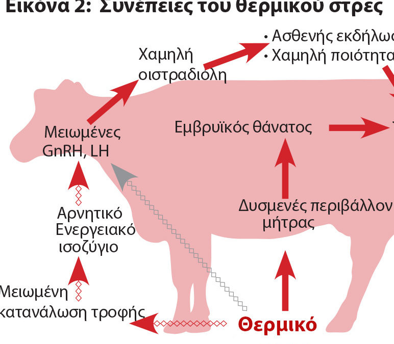 Θερμικό στρες: Συνέπειες στην αναπαραγωγή αγελάδων