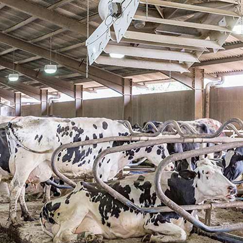 Θερμικό στρες αγελάδων: 5 τρόποι να το αντιμετωπίσετε