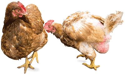 καννιβαλισμος-πτηνων